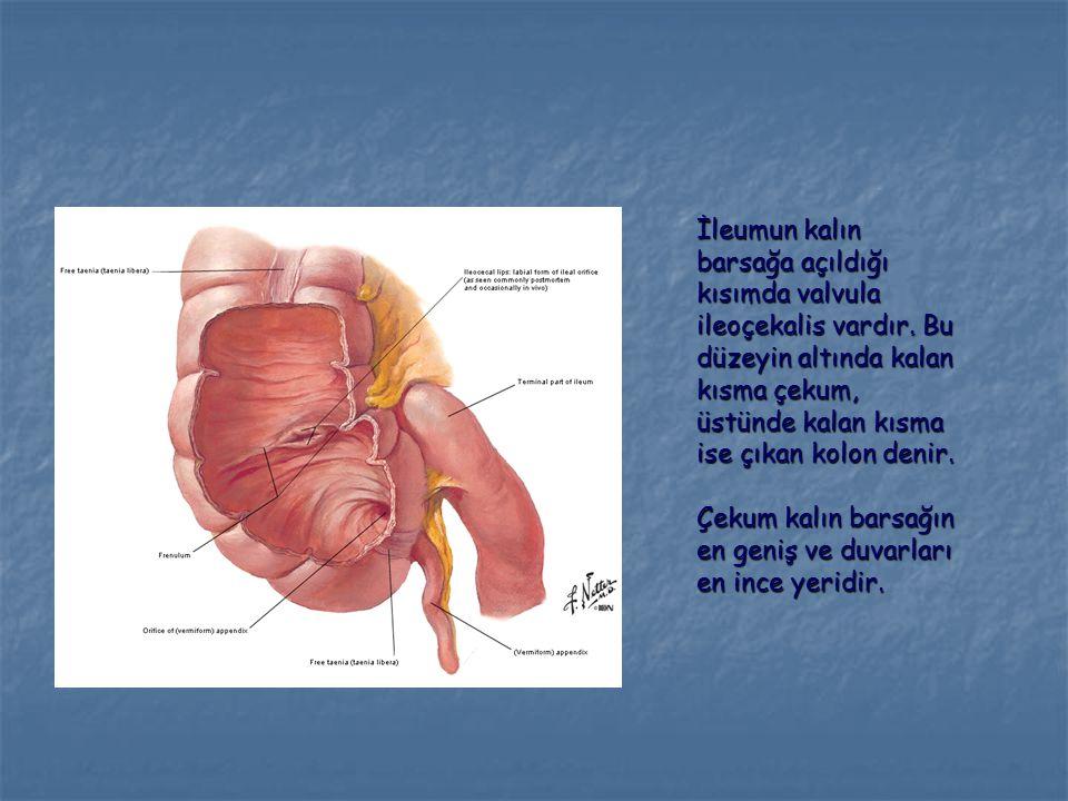 İleumun kalın barsağa açıldığı kısımda valvula ileoçekalis vardır