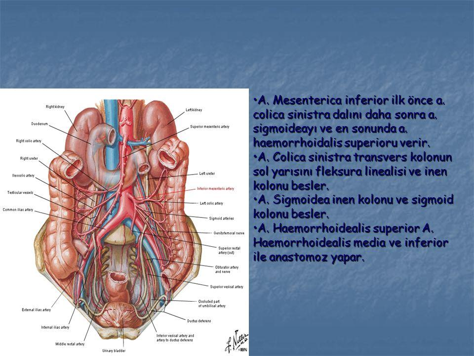 A. Mesenterica inferior ilk önce a. colica sinistra dalını daha sonra a. sigmoideayı ve en sonunda a. haemorrhoidalis superioru verir.