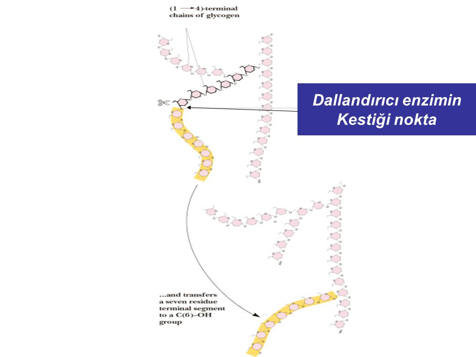 Dallandırıcı enzimin Kestiği nokta