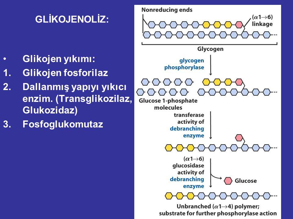 GLİKOJENOLİZ: Glikojen yıkımı: Glikojen fosforilaz. Dallanmış yapıyı yıkıcı enzim. (Transglikozilaz, Glukozidaz)