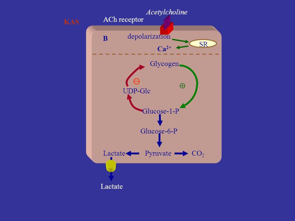 Acetylcholine ACh receptor. KAS. depolarization. B. SR. Ca2+ Glycogen.   UDP-Glc. Glucose-1-P.