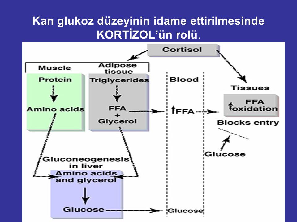 Kan glukoz düzeyinin idame ettirilmesinde KORTİZOL'ün rolü.