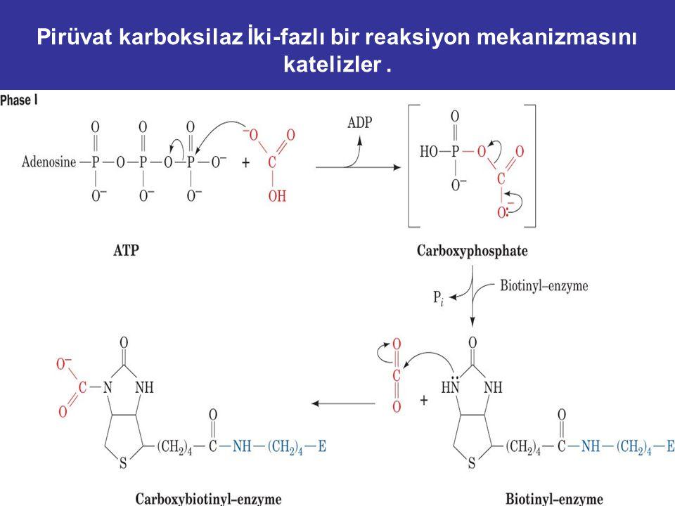 Pirüvat karboksilaz İki-fazlı bir reaksiyon mekanizmasını katelizler .