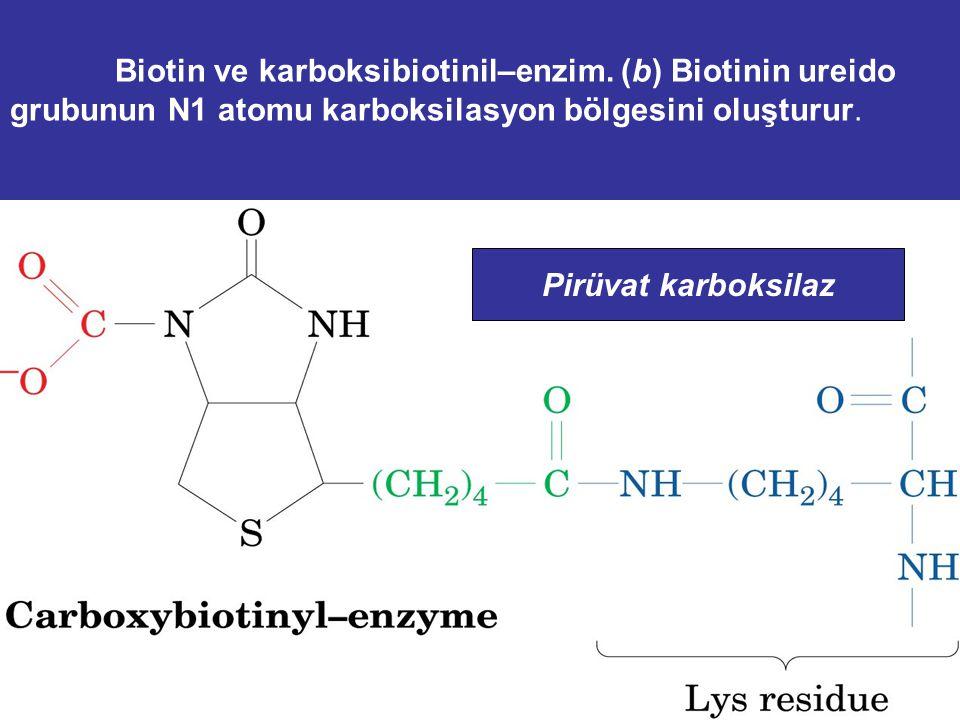 Biotin ve karboksibiotinil–enzim