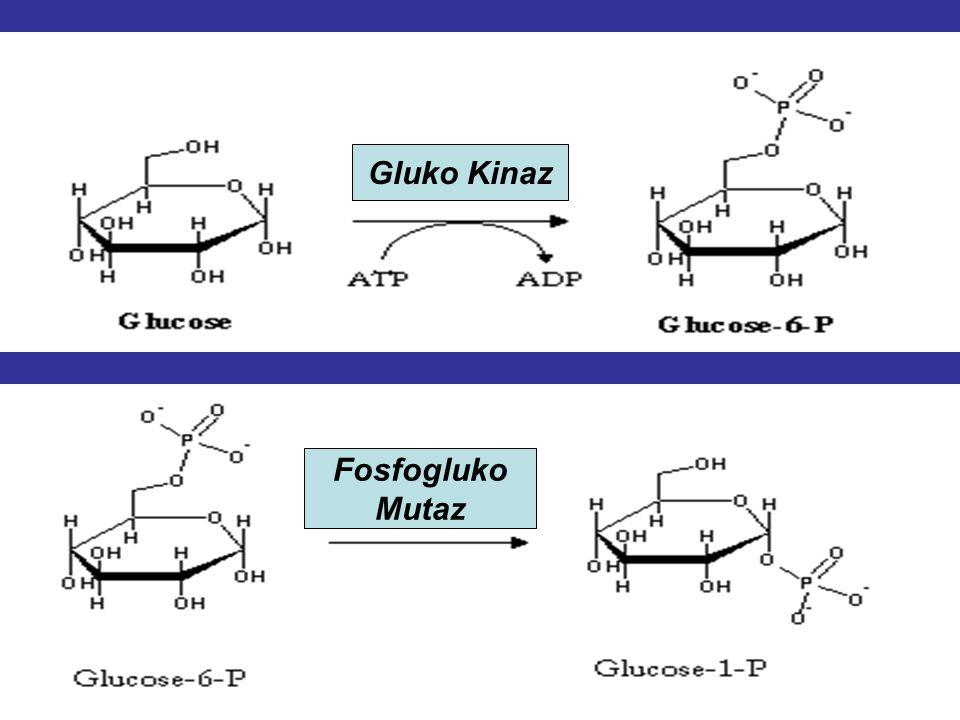 Gluko Kinaz Fosfogluko Mutaz