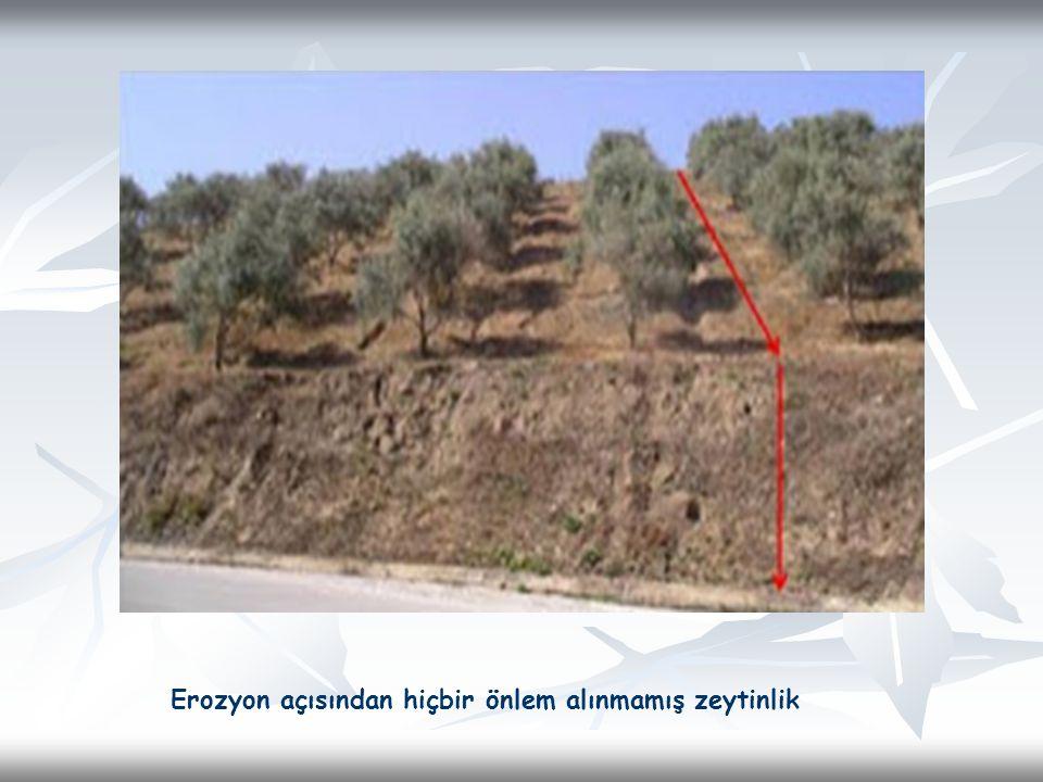 Erozyon açısından hiçbir önlem alınmamış zeytinlik