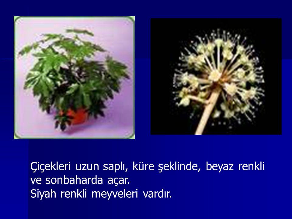 Çiçekleri uzun saplı, küre şeklinde, beyaz renkli ve sonbaharda açar.
