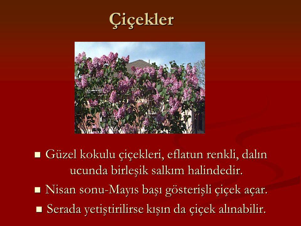 Çiçekler Güzel kokulu çiçekleri, eflatun renkli, dalın ucunda birleşik salkım halindedir. Nisan sonu-Mayıs başı gösterişli çiçek açar.