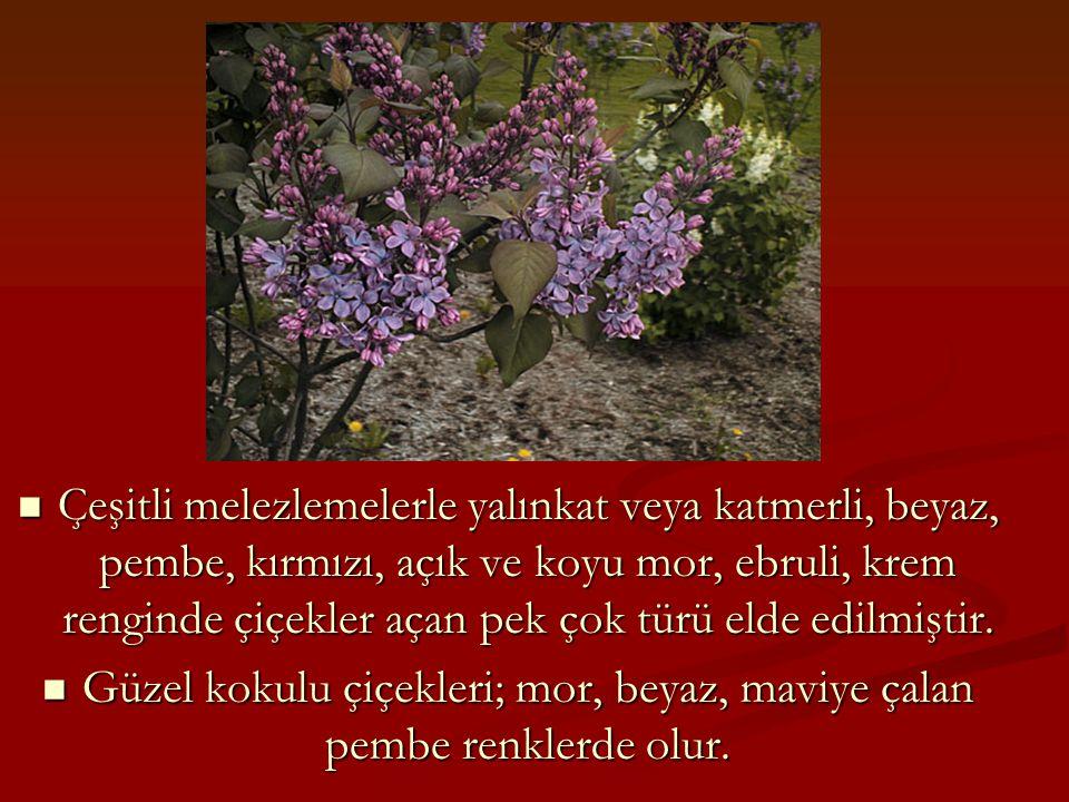Güzel kokulu çiçekleri; mor, beyaz, maviye çalan pembe renklerde olur.