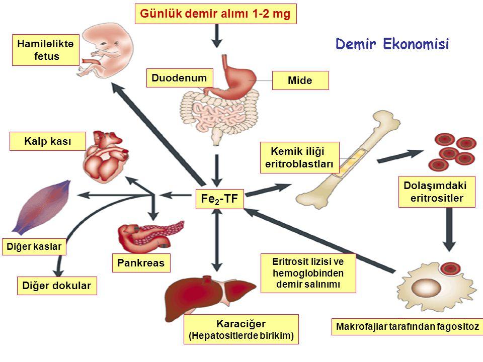 Eritrosit lizisi ve hemoglobinden (Hepatositlerde birikim)