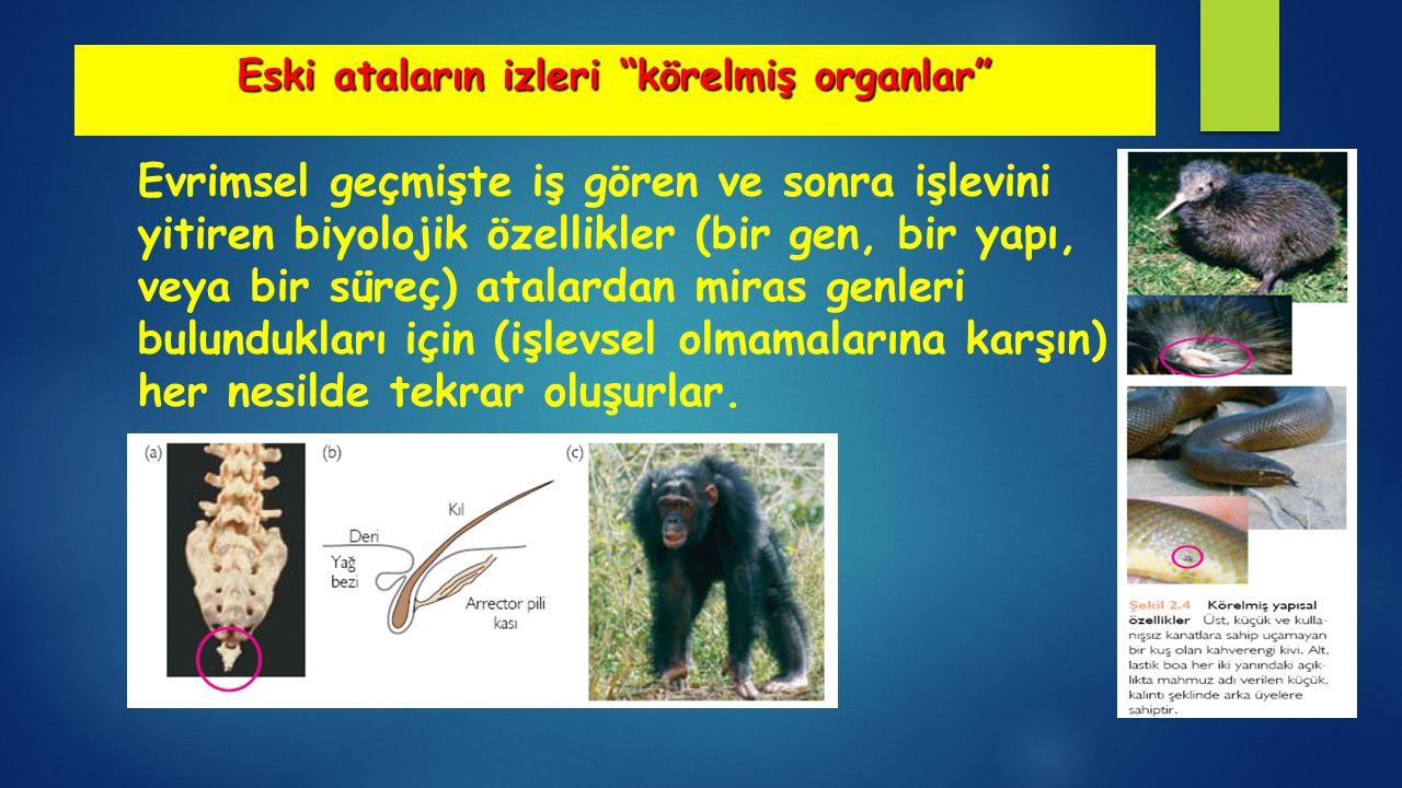 Eski ataların izleri körelmiş organlar