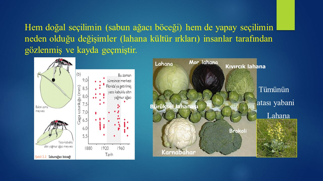 Hem doğal seçilimin (sabun ağacı böceği) hem de yapay seçilimin neden olduğu değişimler (lahana kültür ırkları) insanlar tarafından gözlenmiş ve kayda geçmiştir.