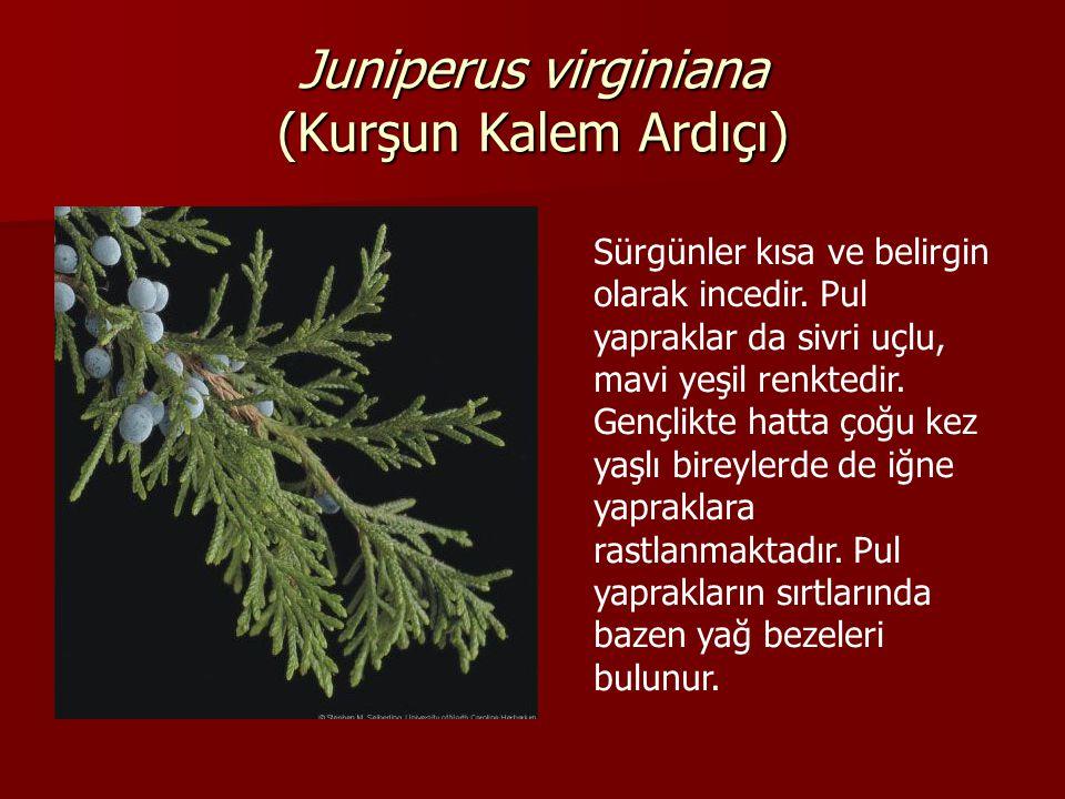 Juniperus virginiana (Kurşun Kalem Ardıçı)