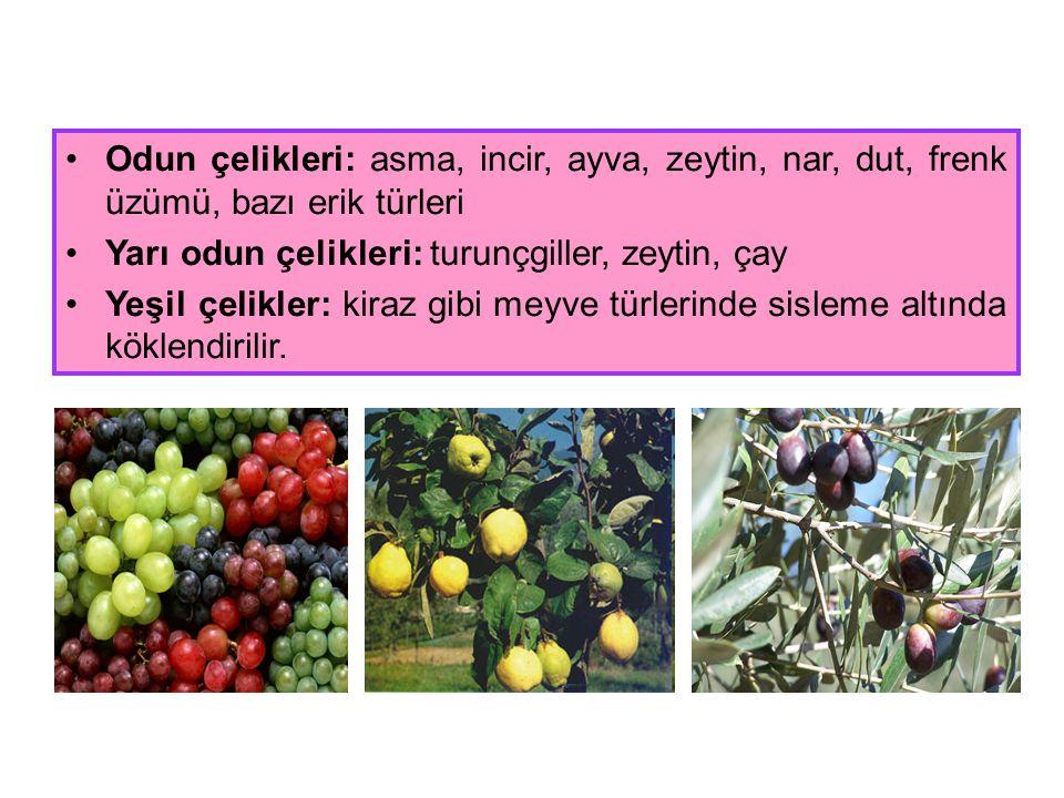 Odun çelikleri: asma, incir, ayva, zeytin, nar, dut, frenk üzümü, bazı erik türleri