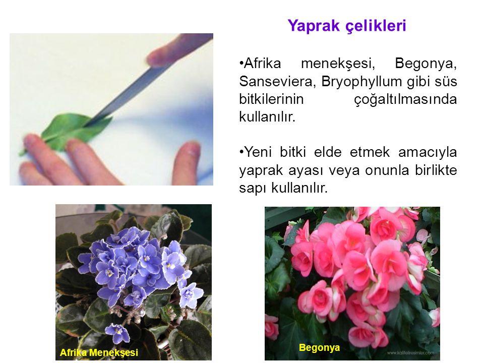 Yaprak çelikleri Afrika menekşesi, Begonya, Sanseviera, Bryophyllum gibi süs bitkilerinin çoğaltılmasında kullanılır.