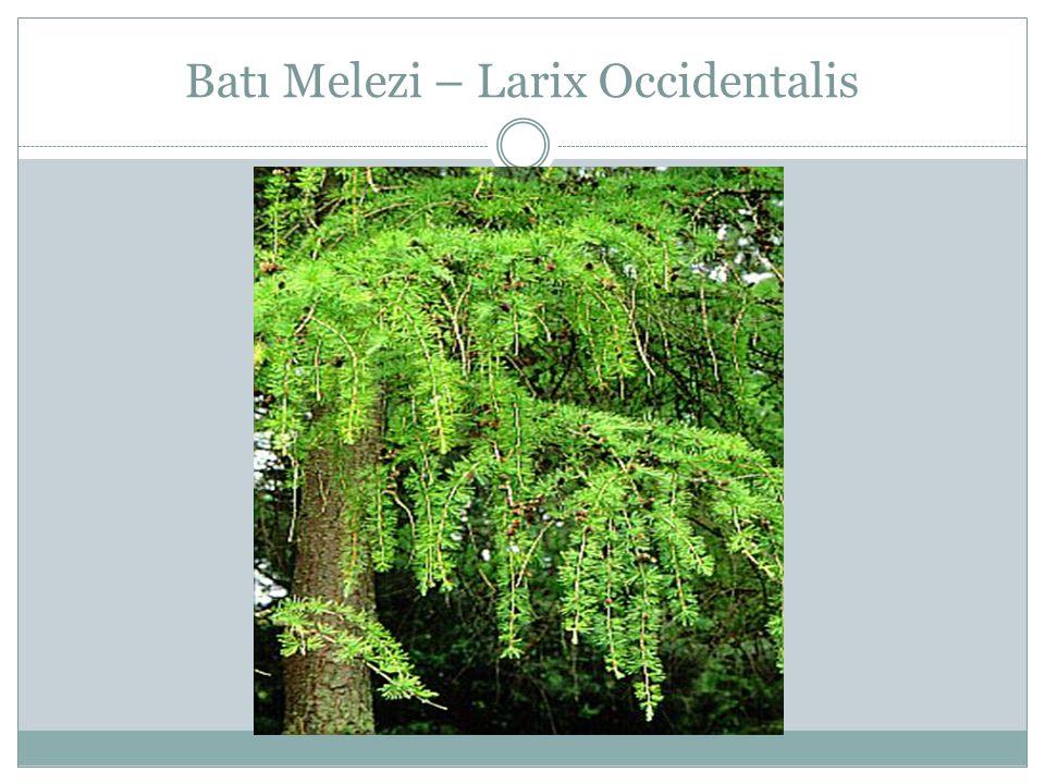 Batı Melezi – Larix Occidentalis