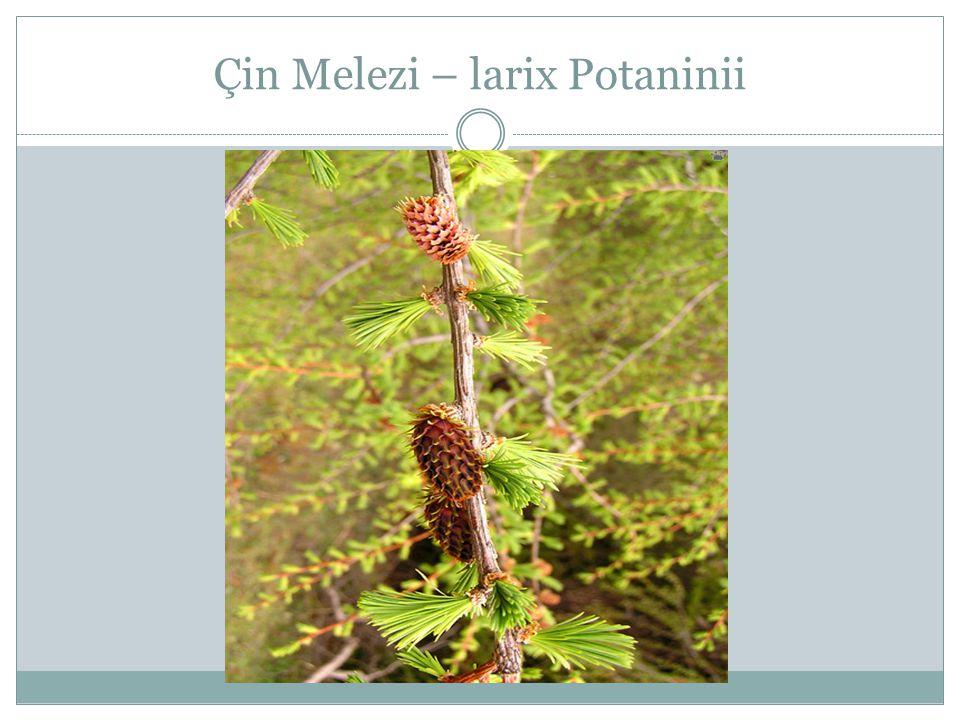 Çin Melezi – larix Potaninii