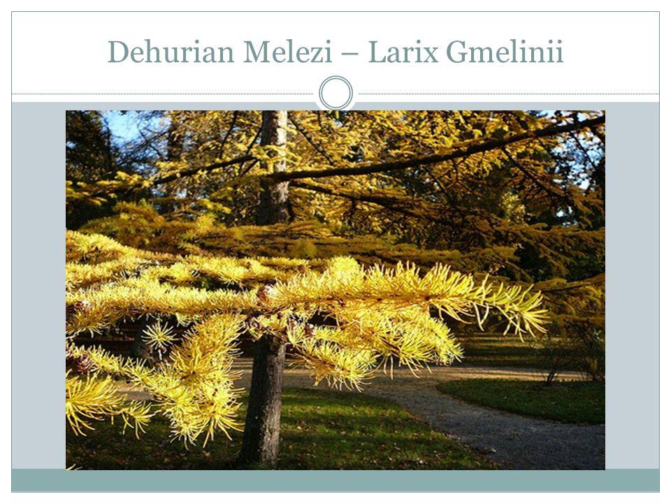 Dehurian Melezi – Larix Gmelinii
