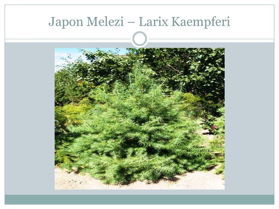 Japon Melezi – Larix Kaempferi