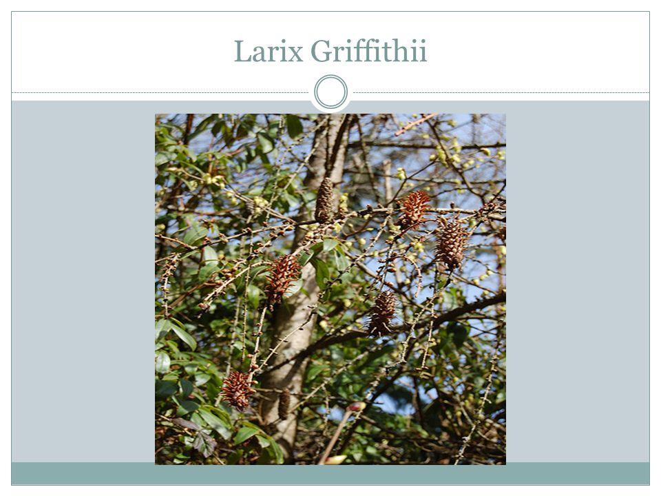 Larix Griffithii