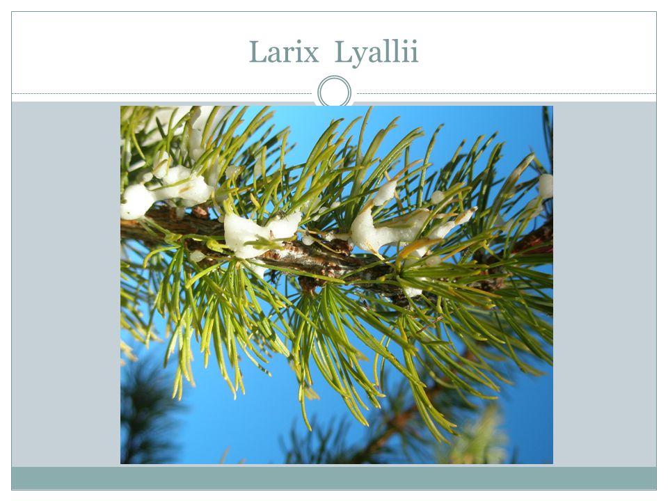 Larix Lyallii