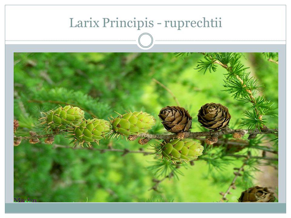 Larix Principis - ruprechtii
