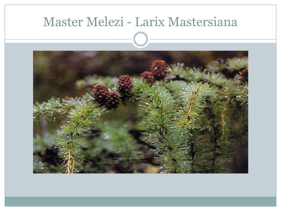 Master Melezi - Larix Mastersiana