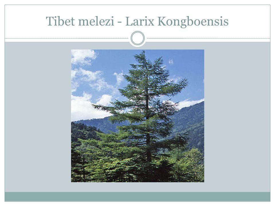 Tibet melezi - Larix Kongboensis
