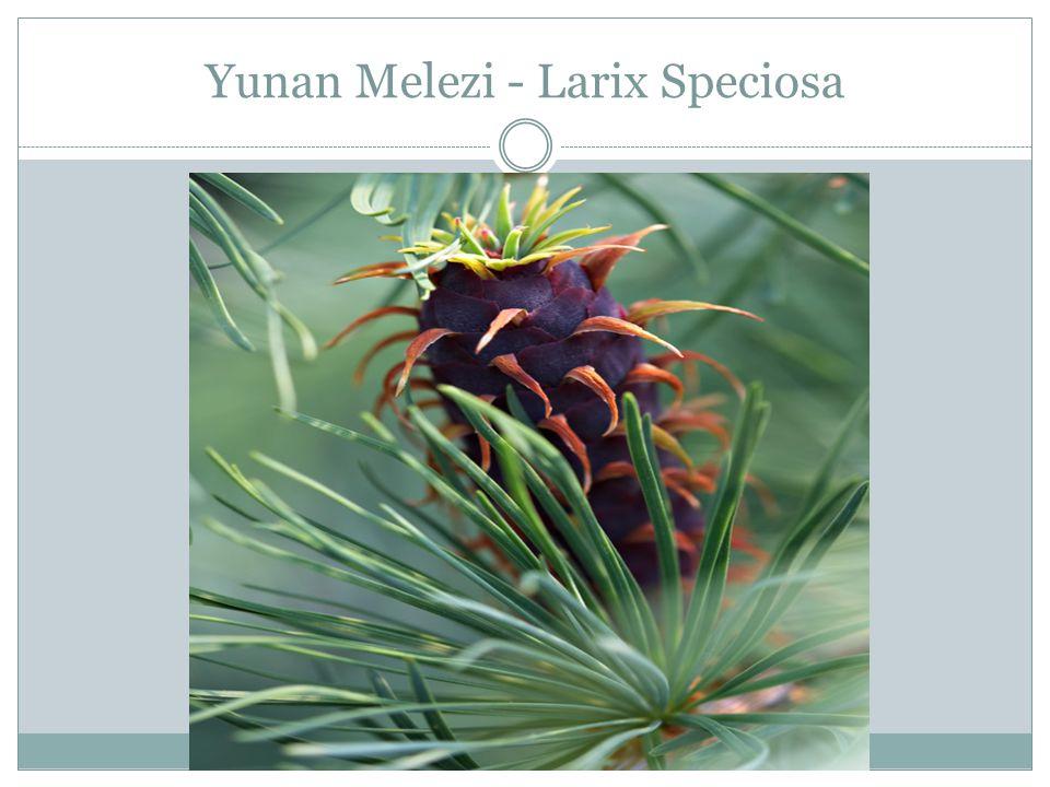 Yunan Melezi - Larix Speciosa