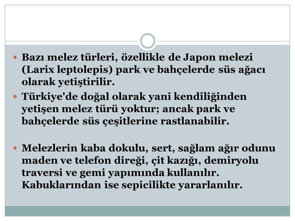 Bazı melez türleri, özellikle de Japon melezi (Larix leptolepis) park ve bahçelerde süs ağacı olarak yetiştirilir.