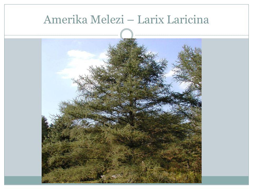 Amerika Melezi – Larix Laricina