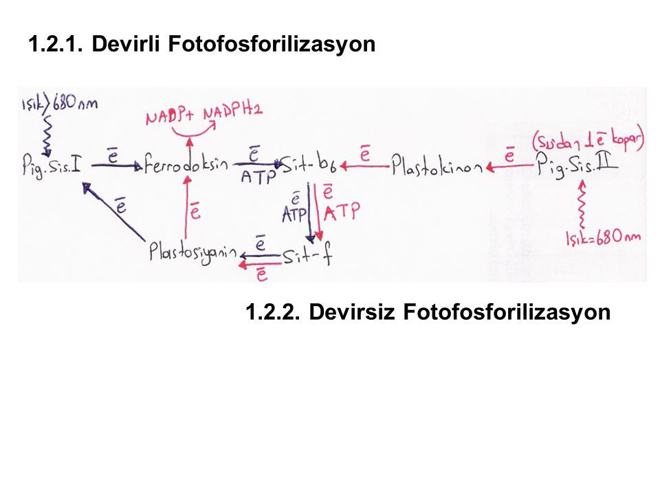 1.2.1. Devirli Fotofosforilizasyon 1.2.2. Devirsiz Fotofosforilizasyon