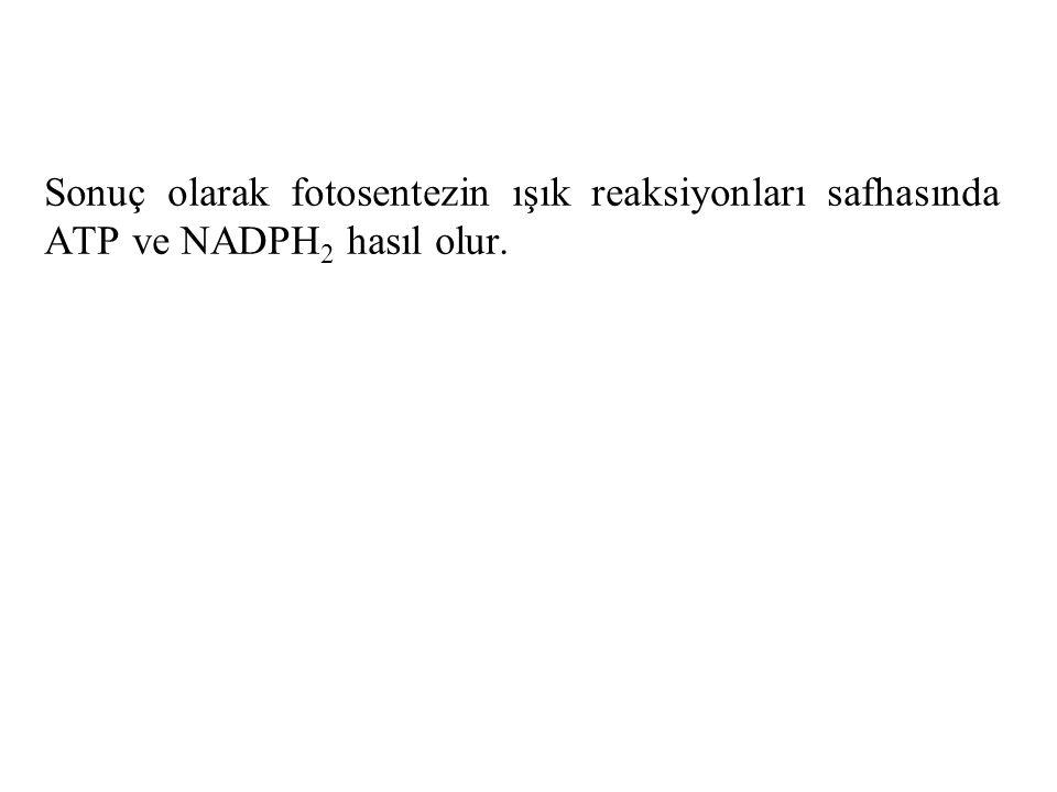 Sonuç olarak fotosentezin ışık reaksiyonları safhasında ATP ve NADPH2 hasıl olur.