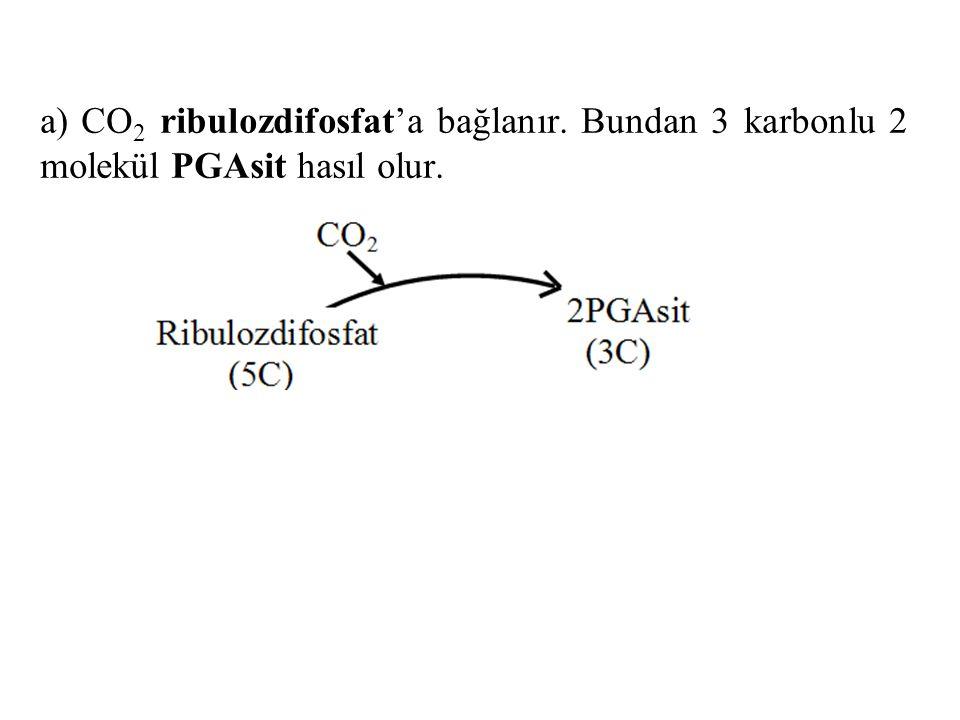 a) CO2 ribulozdifosfat'a bağlanır