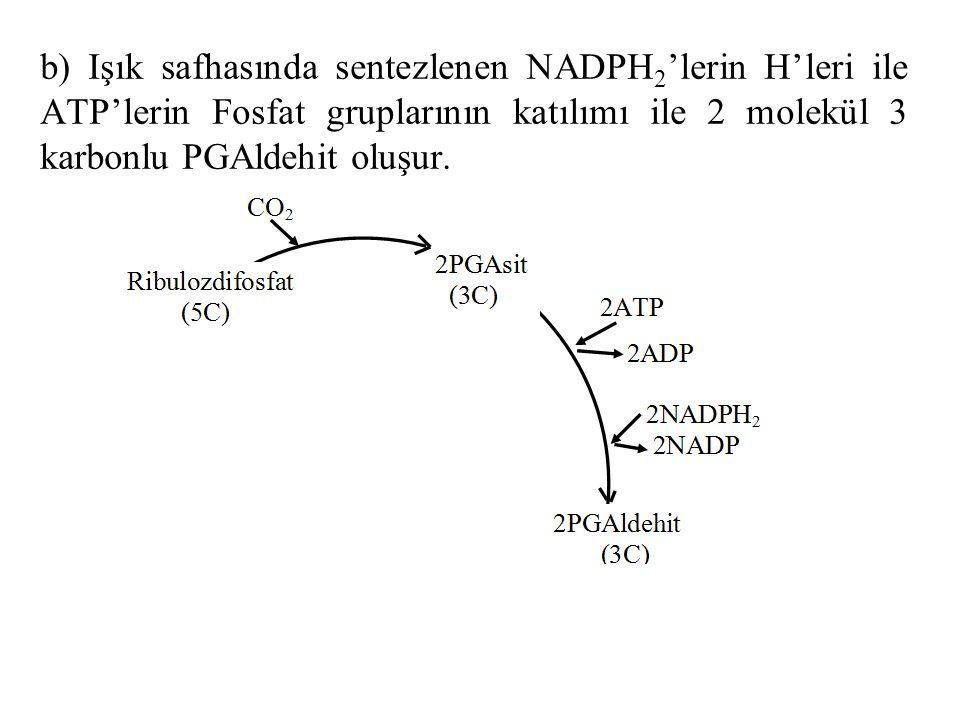 b) Işık safhasında sentezlenen NADPH2'lerin H'leri ile ATP'lerin Fosfat gruplarının katılımı ile 2 molekül 3 karbonlu PGAldehit oluşur.