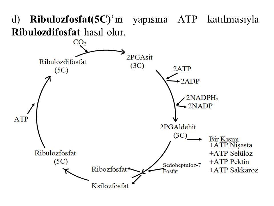 d) Ribulozfosfat(5C)'ın yapısına ATP katılmasıyla Ribulozdifosfat hasıl olur.