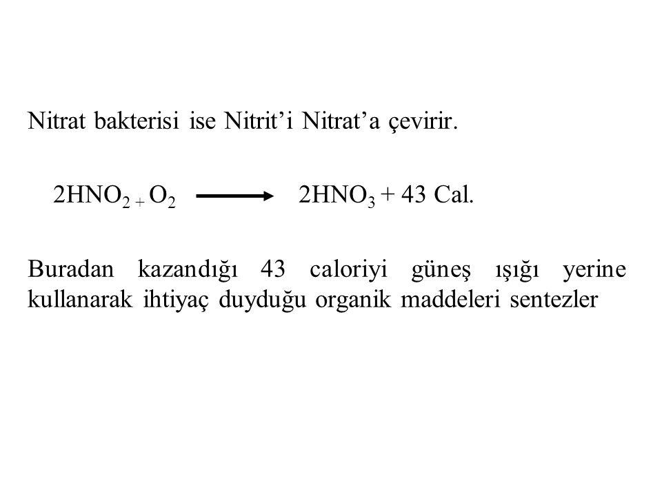 Nitrat bakterisi ise Nitrit'i Nitrat'a çevirir.
