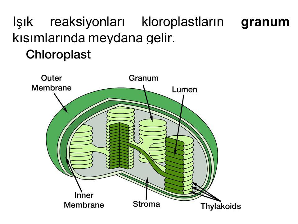 Işık reaksiyonları kloroplastların granum kısımlarında meydana gelir.