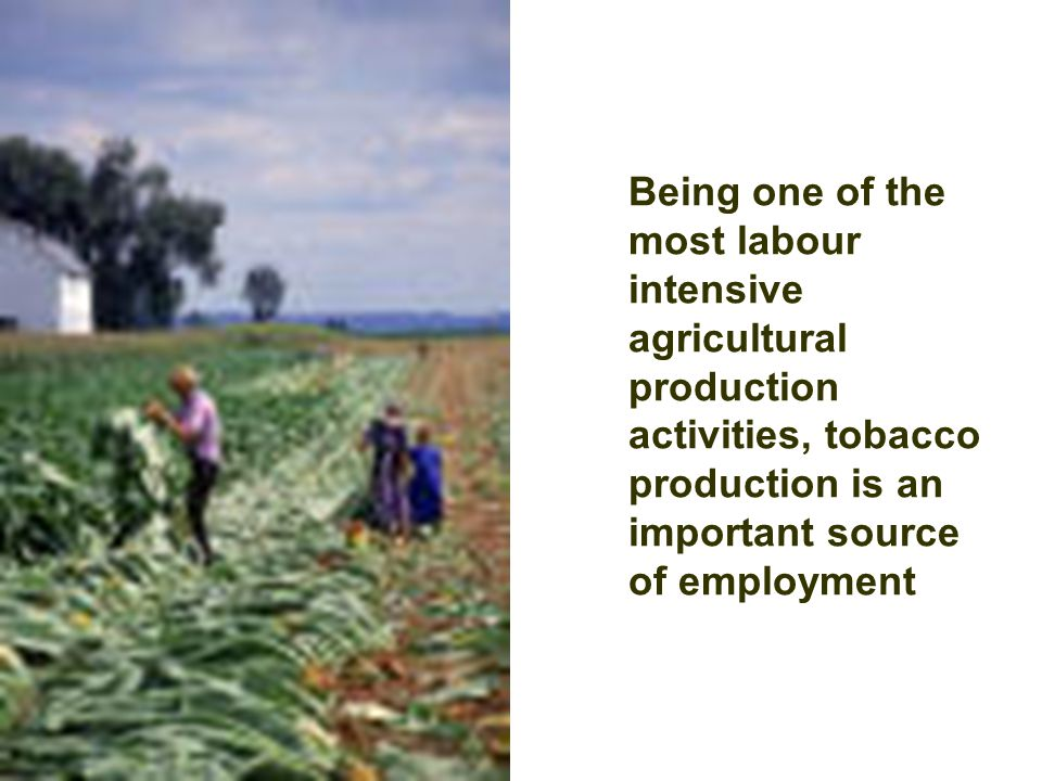 Being one of the most labour intensive agricultural production activities, tobacco production is an important source of employment