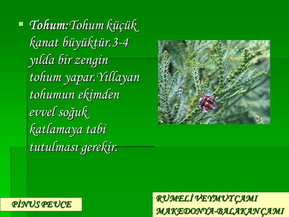 Tohum:Tohum küçük kanat büyüktür. 3-4 yılda bir zengin tohum yapar