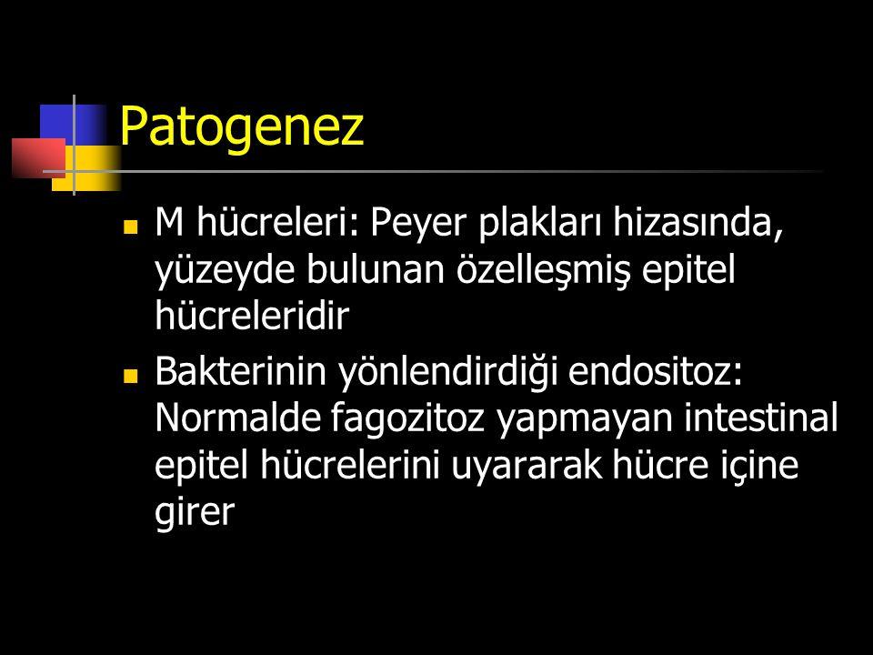 Patogenez M hücreleri: Peyer plakları hizasında, yüzeyde bulunan özelleşmiş epitel hücreleridir.