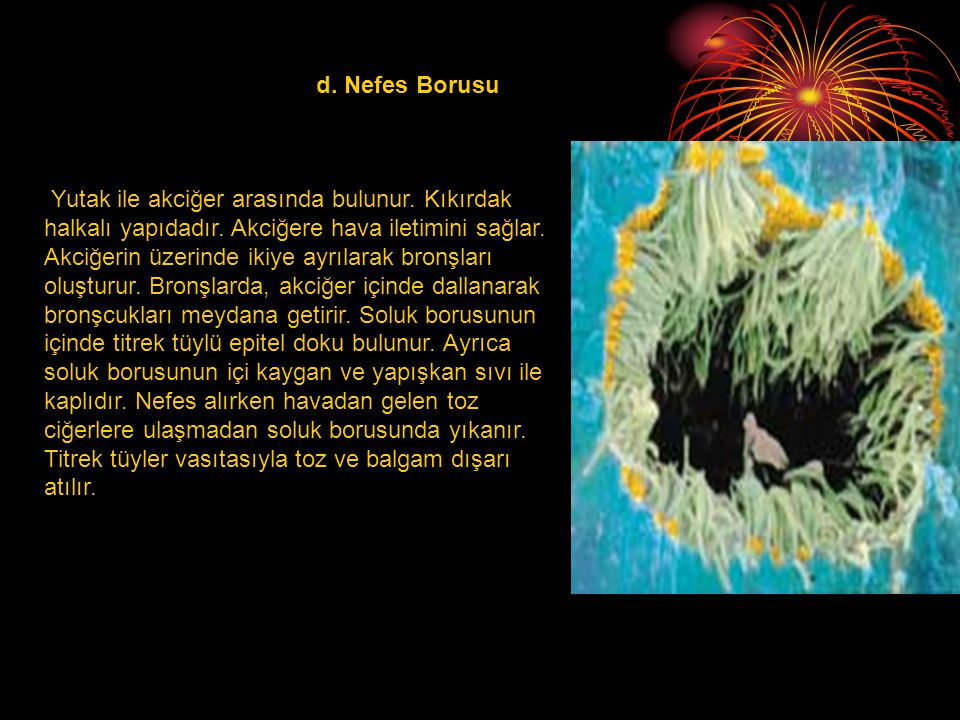 d. Nefes Borusu