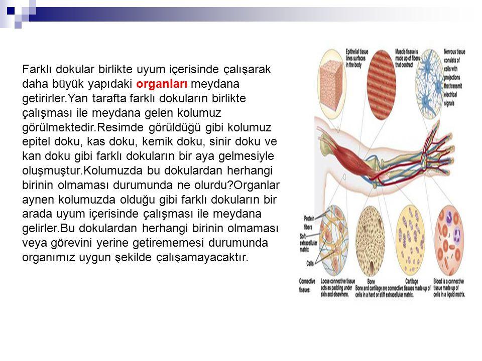 Farklı dokular birlikte uyum içerisinde çalışarak daha büyük yapıdaki organları meydana getirirler.Yan tarafta farklı dokuların birlikte çalışması ile meydana gelen kolumuz görülmektedir.Resimde görüldüğü gibi kolumuz epitel doku, kas doku, kemik doku, sinir doku ve kan doku gibi farklı dokuların bir aya gelmesiyle oluşmuştur.Kolumuzda bu dokulardan herhangi