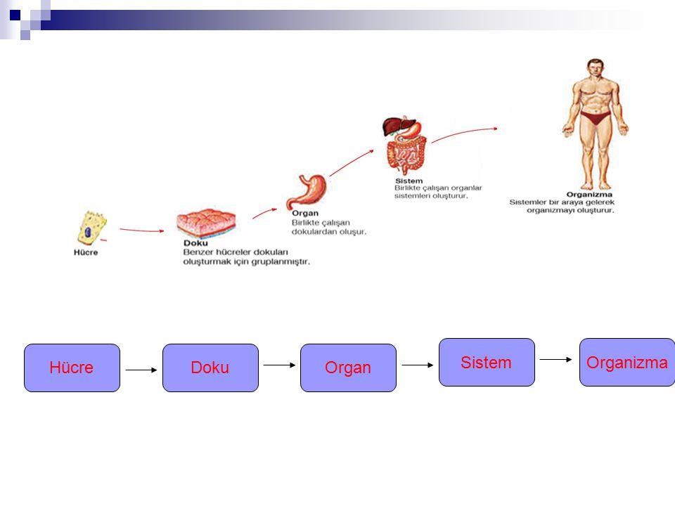 Sistem Organizma Hücre Doku Organ