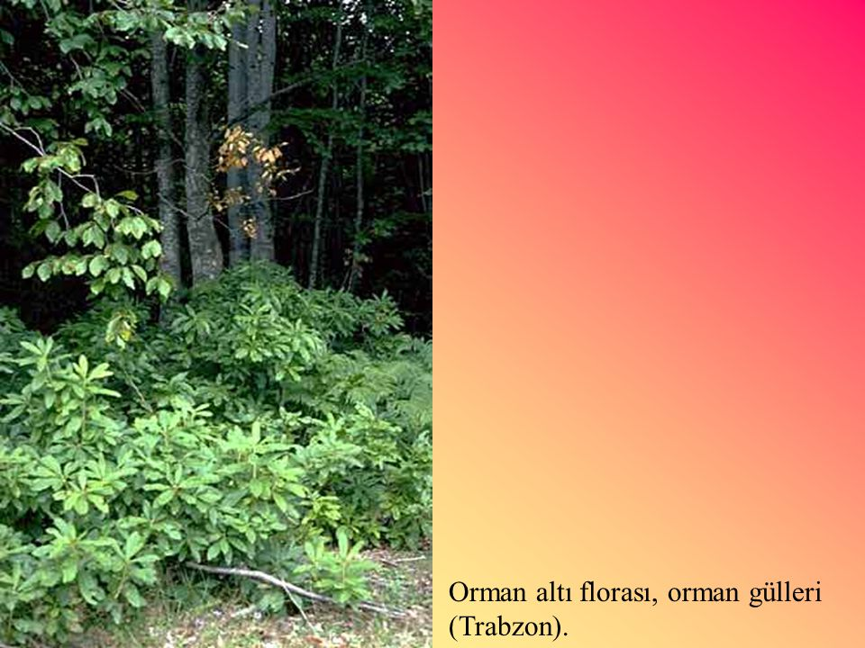 Orman altı florası, orman gülleri (Trabzon).