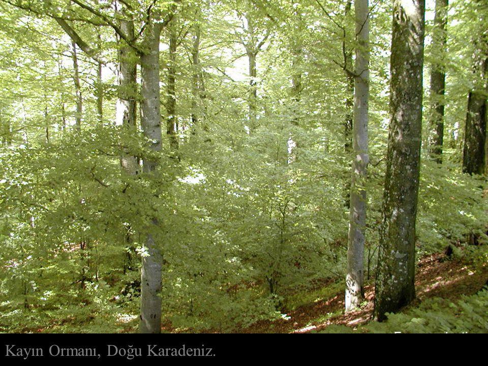 Kayın Ormanı, Doğu Karadeniz.