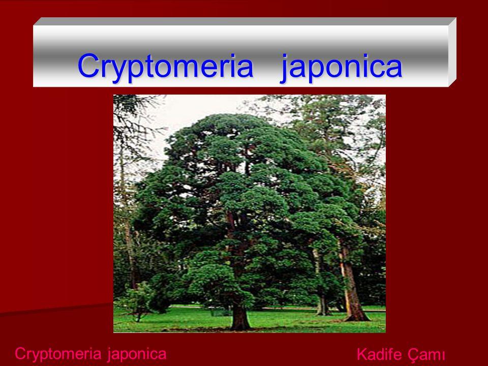 Cryptomeria japonica Cryptomeria japonica Kadife Çamı