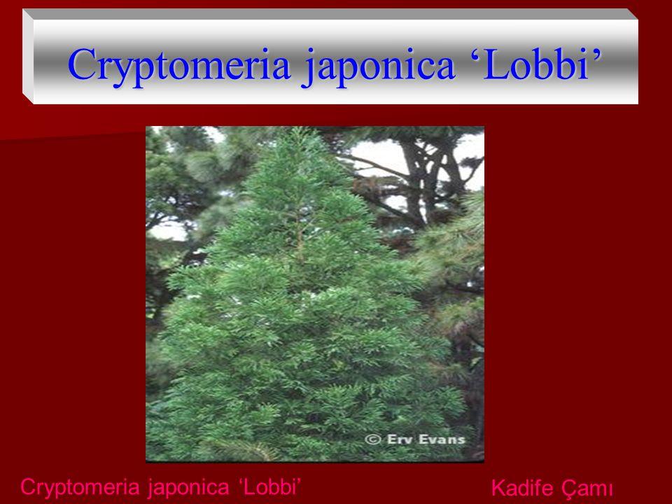 Cryptomeria japonica 'Lobbi'