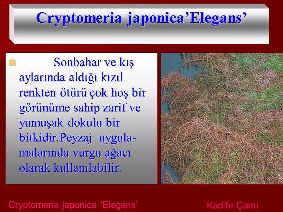 Cryptomeria japonica'Elegans'