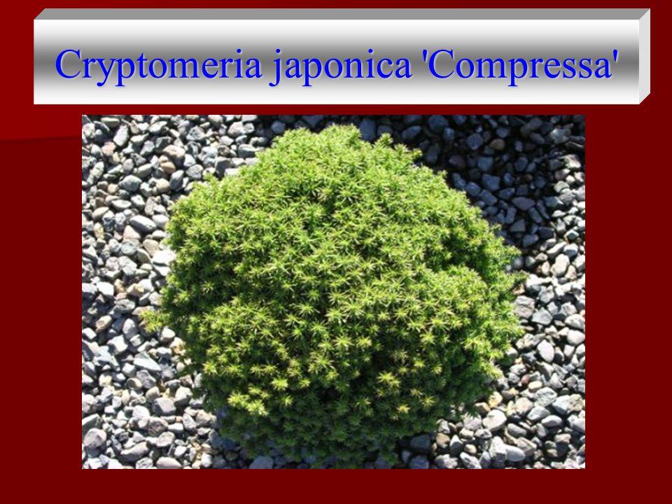 Cryptomeria japonica Compressa